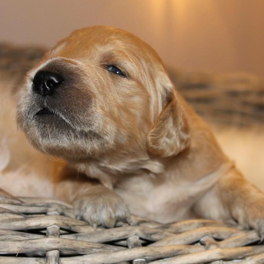 Årets Plush Puppy hund? Møt Golden Agapi's Achilles