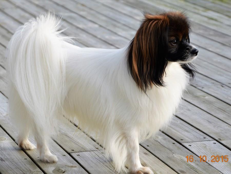 Årets Plush Puppy hund? Møt No Se UCH Mirramiss Loving You