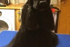 Årets Plush Puppy hund? Møt Euro – Ch Miavo's TimeforEuro